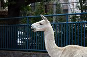 picture of lamas  - Asian white Lama in the zoo park - JPG