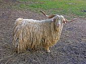 pic of goat horns  - portrait of white hairy angora goat with long crooked horns - JPG