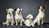 stock photo of jacking  - Jack Russell terrier family portrait adult male and female and two male puppies  - JPG