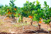 foto of valencia-orange  - orange trees with fruits on plantation in summer - JPG