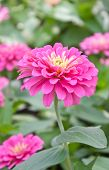 pic of zinnias  - Close up of Blossom Pink Zinnia In Garden - JPG