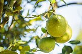 image of pomelo  - Pomelo fruit tree in the garden, Thailand