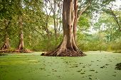 stock photo of polution  - Green water algae at bird sanctuaries lake having so many trees - JPG