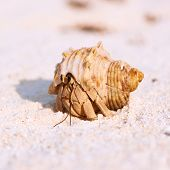pic of hermit  - Hermit crab on beach at Maldives - JPG