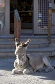 picture of burro  - Wild Baby Burro resting in front of store in Oatman Arizona USA - JPG