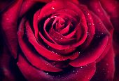 picture of rose close up  - Red Rose Flower close up background - JPG