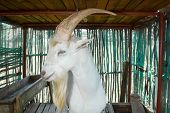 picture of saanen  - Saanen billygoat standing in his stables looking towards the viewer while diplaying his big horns and long white beard - JPG