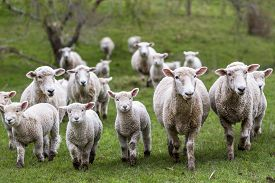 foto of baby sheep  - Sheep and lambs in green grass paddock - JPG