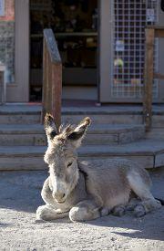 stock photo of burro  - Wild Baby Burro resting in front of store in Oatman Arizona USA - JPG