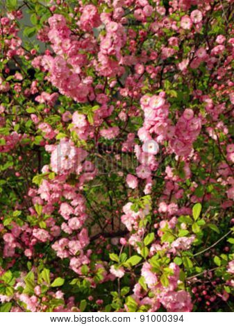 Defocused And Blur Image Of Bush With Flowers