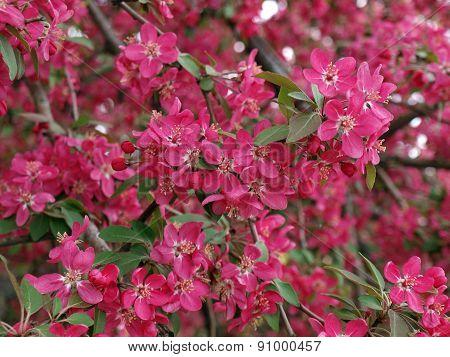 Pink Flowers Of Apple