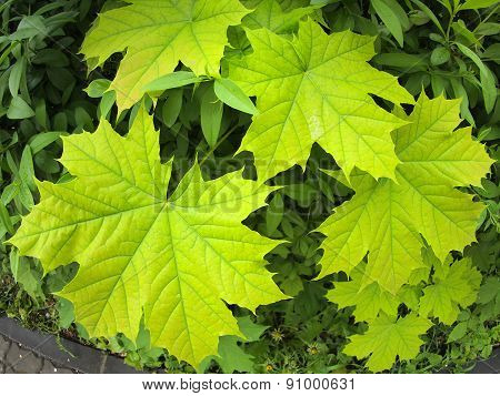 Green Maple Leaves Closeup