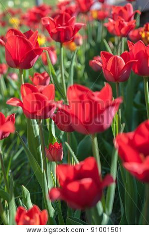 Blooming Tulips On A Sunny Day