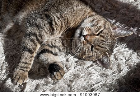 Cute cat sleeping on the carpet in the morning sun