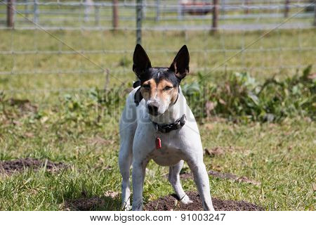Rat Terrier On Alert