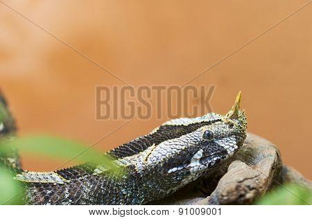 Rhinoceros Viper