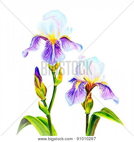 Irises isolated on white, watercolor painting