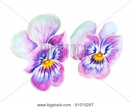 Tender pansies flowers isolated on white. Watercolor painting.