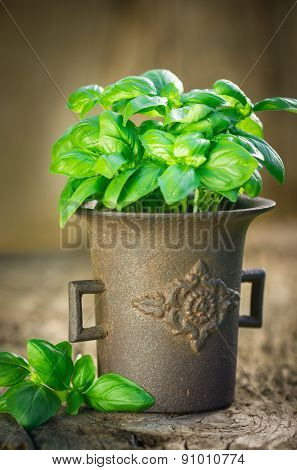 Fresh basil plant in the rustic mortar