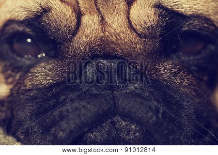 Close up of Cute pug puppy looking sad