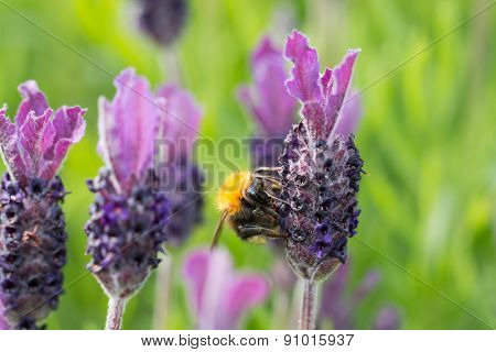 Bumblebee on lavender blossom in macro detail