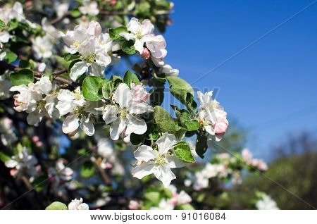 Blossoming of apple flowers