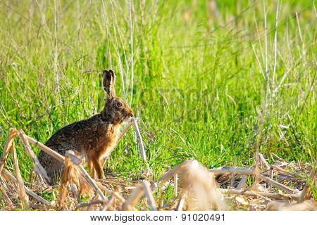 Wild rabbit on the meadow