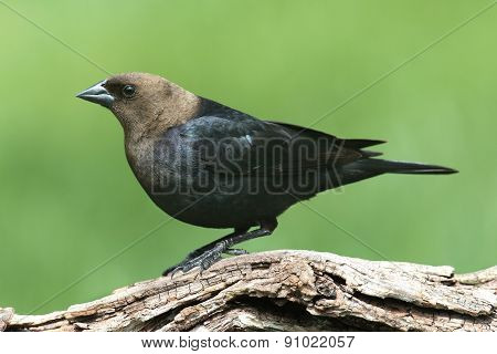 Male Cowbird On A Perch