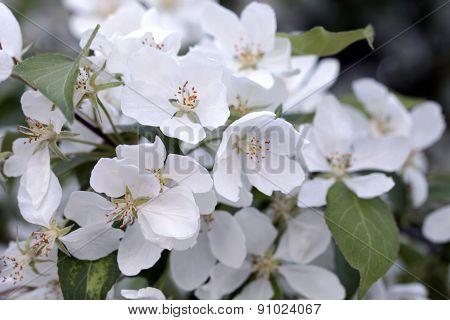 Apple Tree Flowers In The Spring