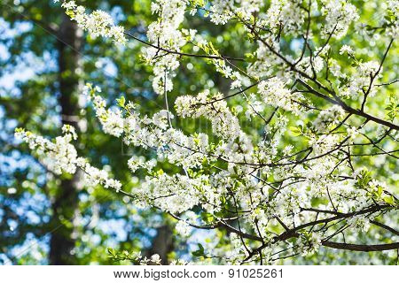 Flowering Cherry Tree In Sunny Day