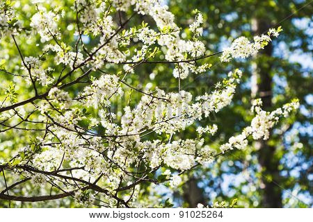 Blossoming Cherry Tree In Sunny Day