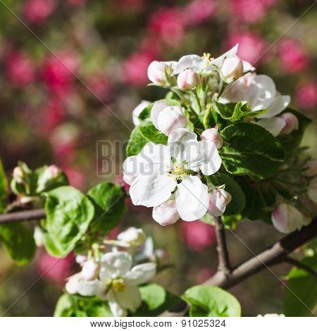 White Bloom Of Flowering Apple Tree