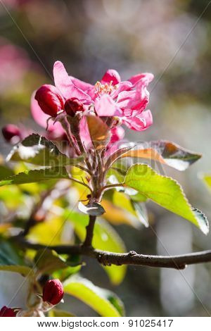 Pink Flower On Flowering Apple Tree Close Up