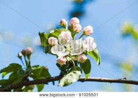 Flower On Flowering Apple Tree Close Up In Spring