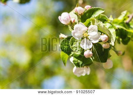Twig Of Apple Tree With White Blossoms Close Up