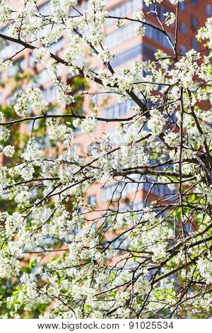 Branches Of Blossoming Cherry Tree And Urban House