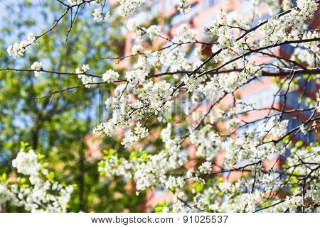 Twigs Of Blossoming Cherry Tree And Urban House