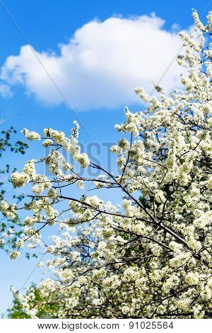 White Cloud In Blue Sky And Cherry Tree Blossoms