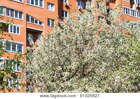 Flowering Cherry Tree And Urban Apartment Hous