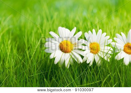 Beautiful decorative chamomile flowers in fresh spring grass