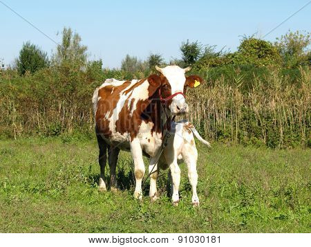 Cow with newborn calf