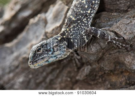 An Agama Lizard Looking Up From Its Log
