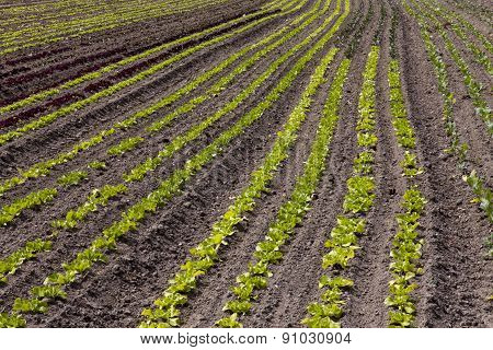 Rows Of Small Salad On A Field