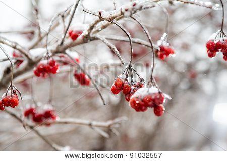 Red Rowan Tree In Winter Forest
