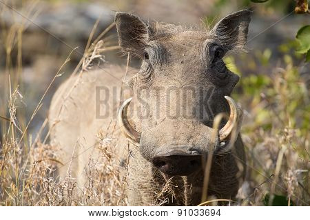 Warthog With Big Teeth Walking Among Short Grass