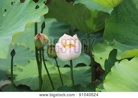 Peony Lotus buds and leaves