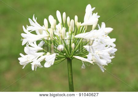 Lily of the Nile,African Lily