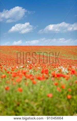 poppy seed flowering field