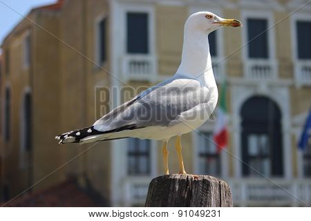 Seagull In Venice, Italy