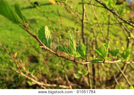 Branch Of Alder In The Spring